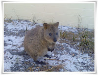 Quokka Animal Pictures
