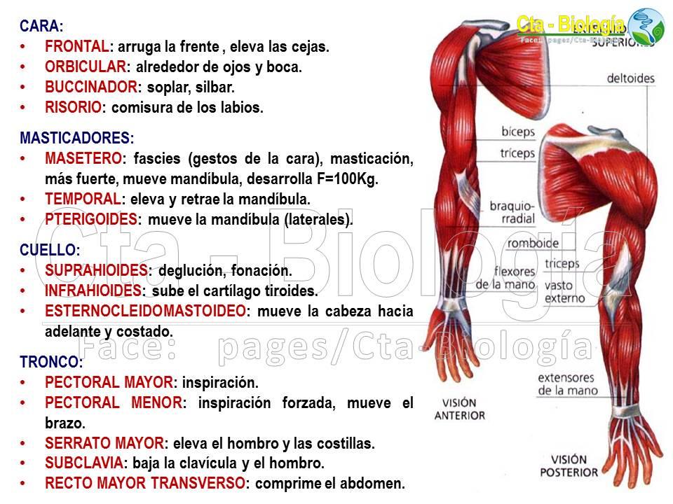 Vistoso Brazo Sistema Muscular Elaboración - Imágenes de Anatomía ...