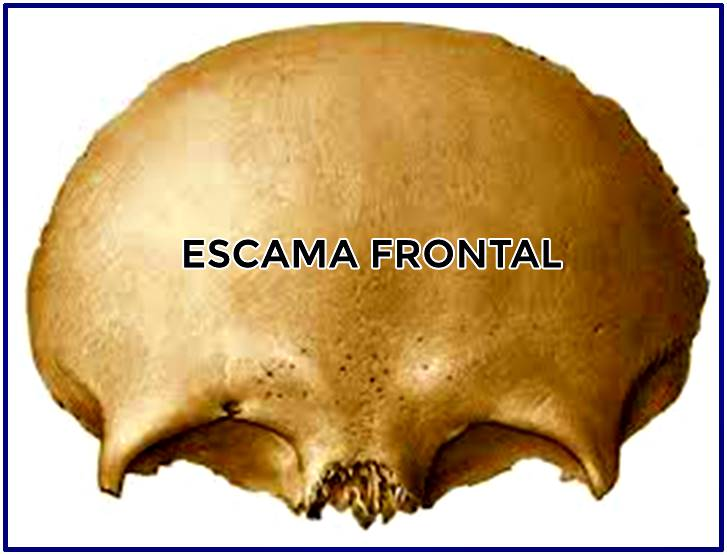 Escama del hueso frontal del cráneo