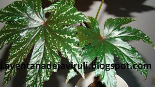 begonia-gryphon