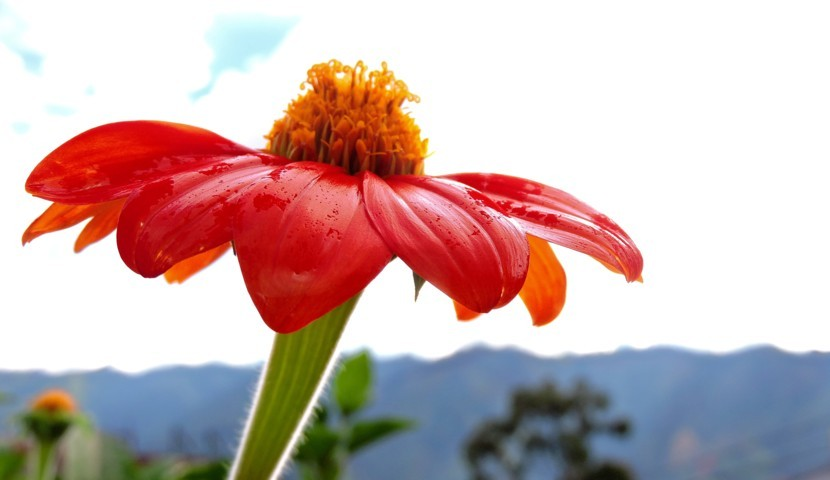 flor pétalos rojos centro amarillo colorida