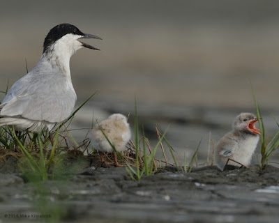 Gull-billed Tern adult and chicks vocalizing © Michael Kilpatrick