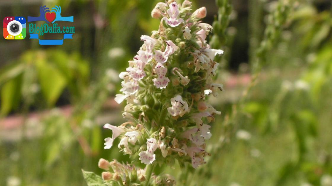 Catnip tanaman pengusir nyamuk alami