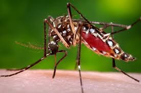 Pesalai Talaimannar - mosquito is Anopheles Stephens
