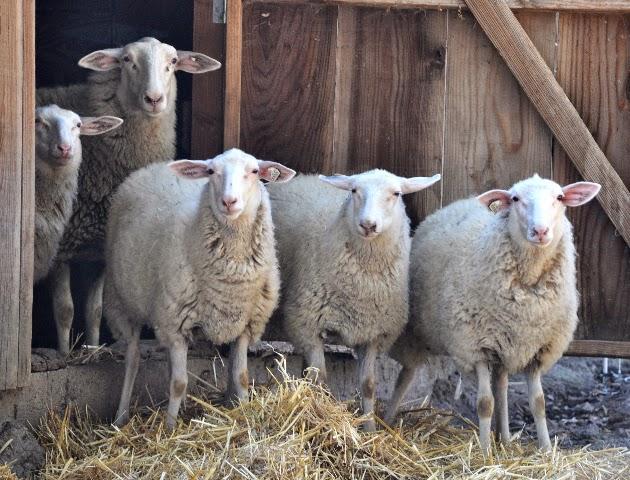 sheeps+milk+ice+cream, negranti+dairy, sheep+milk+ice+cream, sheep+milk