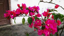 6 Manfaat Tanaman Bunga Kertas Bougenville bagi Kesehatan