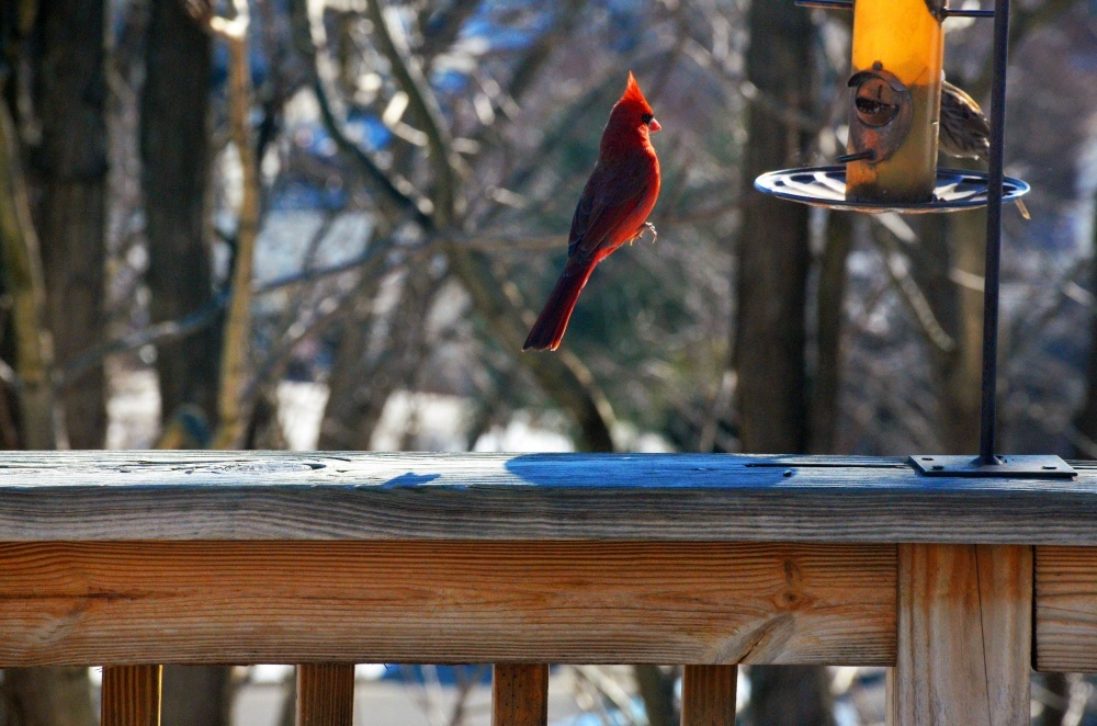 The 100 best photographs ever taken without photoshop - Red cardinal levitating