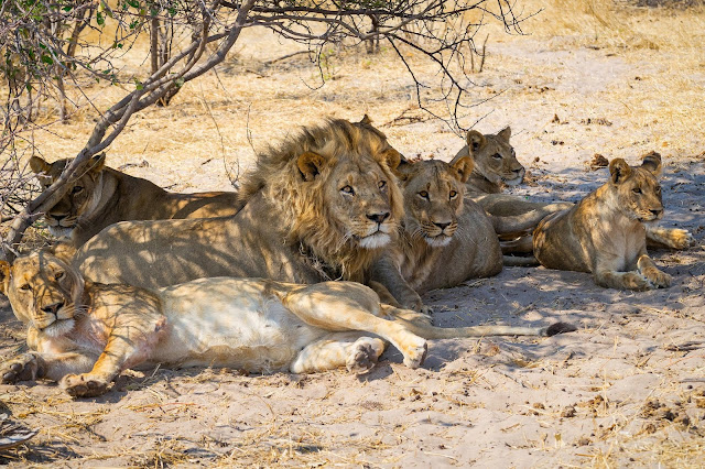 Lions eat rhino poachers on South African game reserve