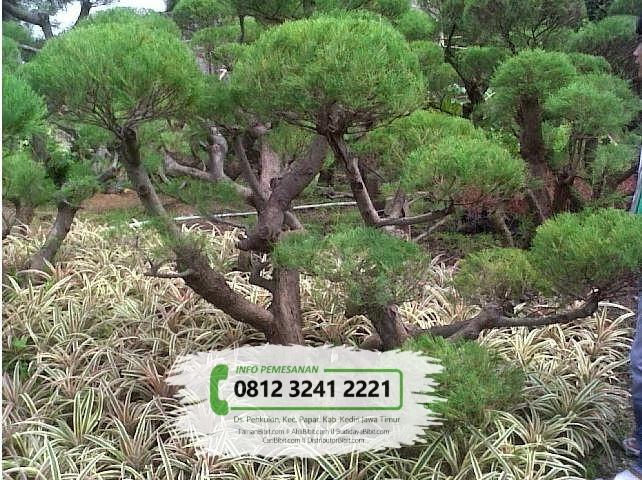 Jual Bibit & Benih Biji Pohon Cemara Udang