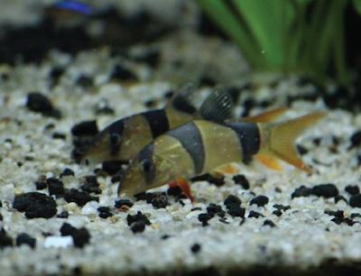 Apa Itu White Spot? Berbahayakah Bagi Ikan?