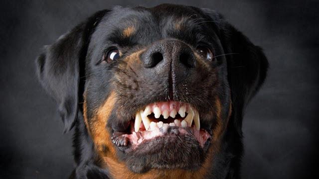Huấn luyện một chú chó dữ trở nên hiền lành