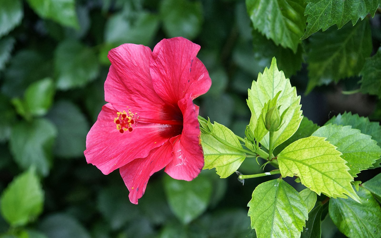 tag pink hibiscus flower - photo #14