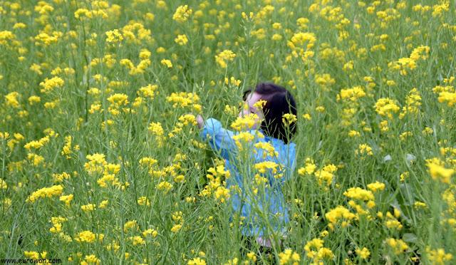 Niña jugando con flores de colza en Corea