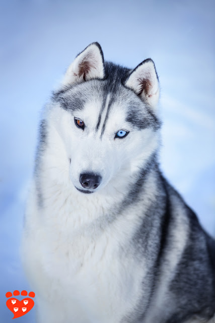 A beautiful Siberian Husky with one blue and one brown eye