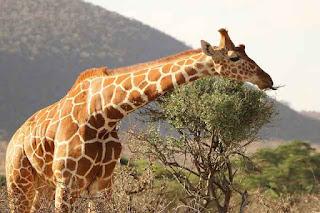 Jika membahas mengenai dunia binatang memang tak akan ada habisnya Contoh Report Text about Giraffe dan Terjemahannya