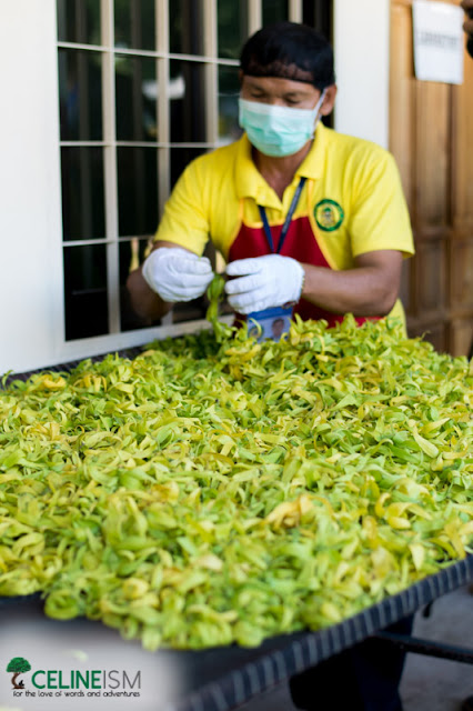 ylang ylang extraction