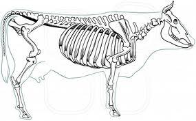 Lehmän Anatomia