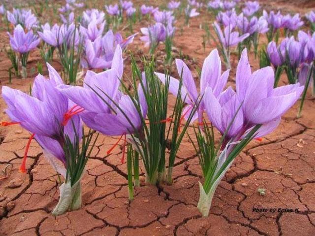 Safran Bitkisi Nedir? Safran Bitkisinin Yararları ve Zararları