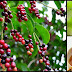 Bignay: A Tiny Fruit With Big Health Benefits