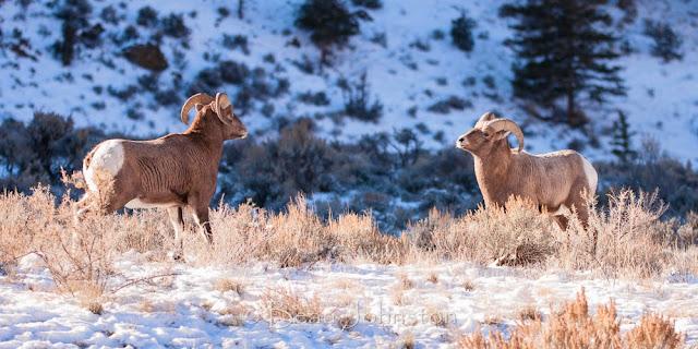 Yellowstone, Wyoming Wildlife, Outdoor Retailer, Overland Journal, camping, travel, Overland Expo, Sunset Magazine, AFAR