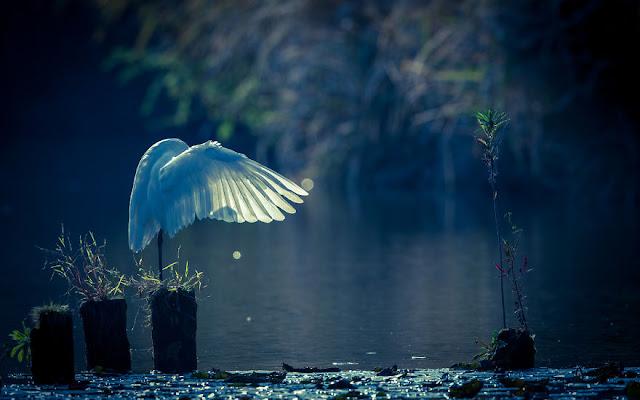 طائر البلشون الأبيض IMG_7949-2-57a993b033b31__880