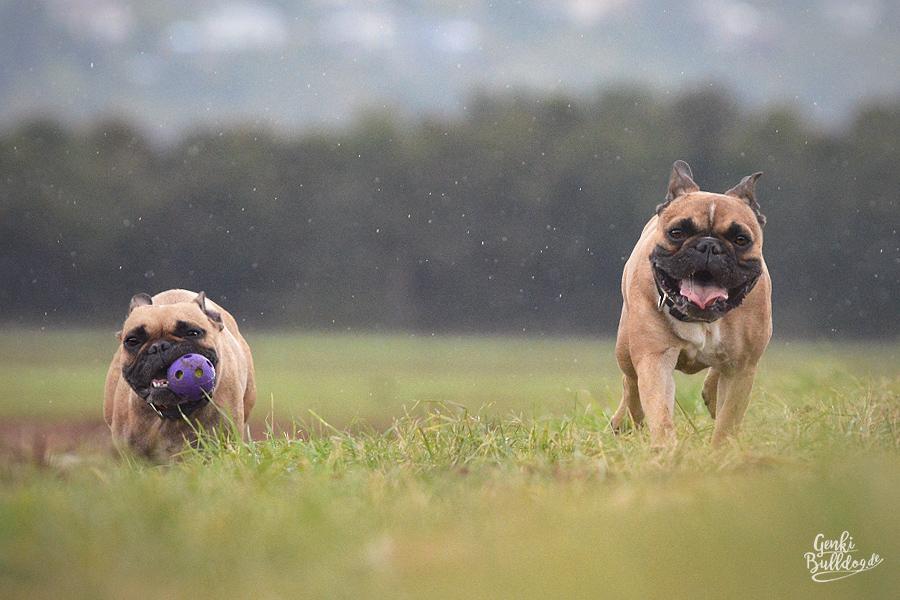 Französische Bulldogge Genki und Momo im Regen