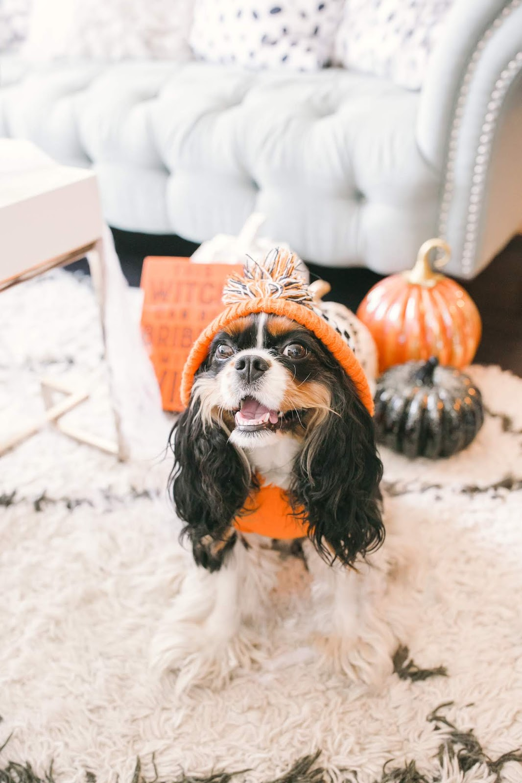 Bijuleni - How to Decorate Your Living Room for Halloween - Cavalier King Charles Spaniel wearign a hoodie