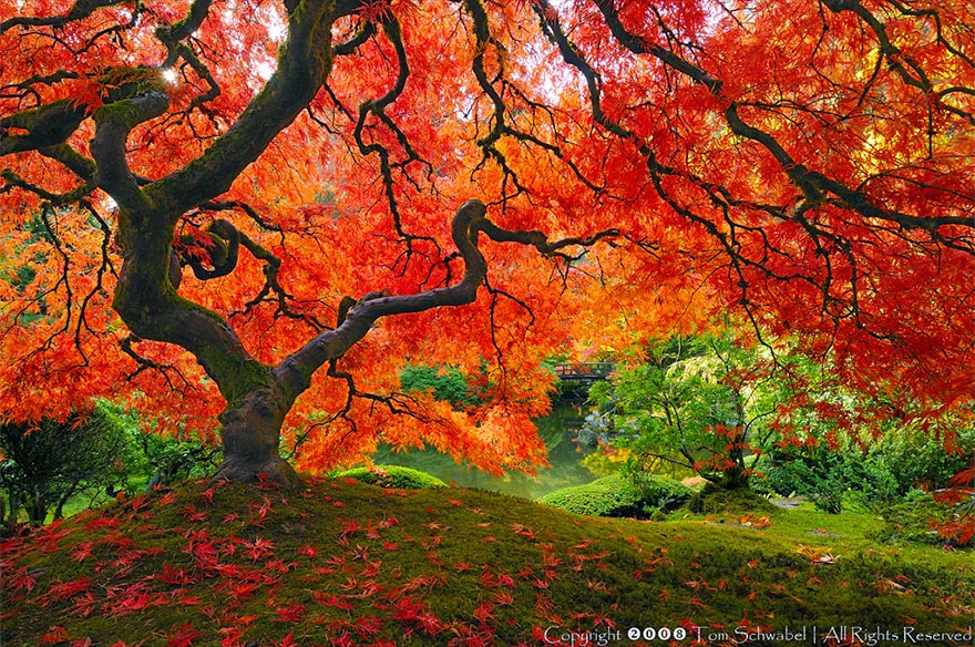 #4. The Japanese Maple - 16 Of The Most Magnificent Trees In The World.