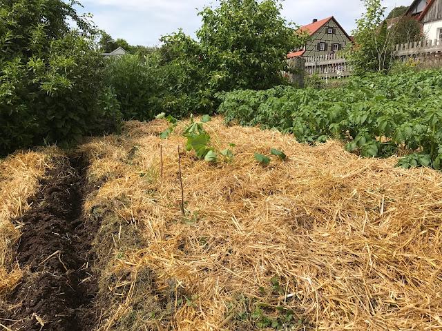 Saatrille für Buschbohnen, frisch gepflanzte Zucchini und die Kartoffeln mit Strohmulch  (c) by Joachim Wenk