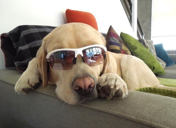 Labrador Cooper sunglasses