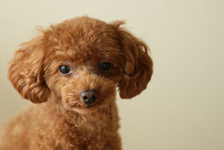 Everything about your Toy Poodle