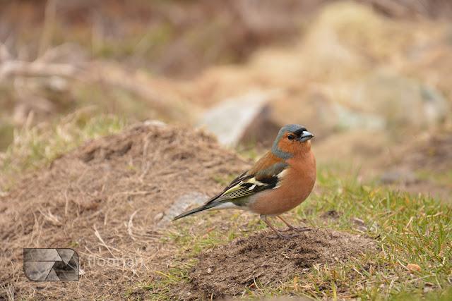 Przyroda ba fiordach. Ptaki na Preikestolen