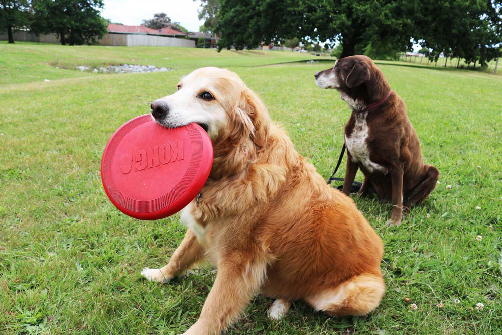 Senior Golden Retriever holds a red KONG Flyer Frisbee in his mouth at the park
