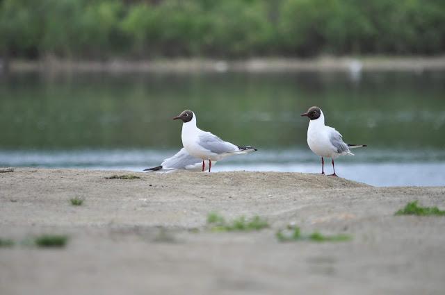 Чайки на реке Миасс