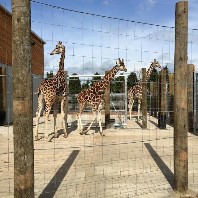 twycross zoo giraffes