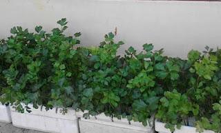 cara menanam seledri hidroponik