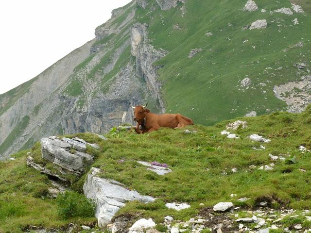randonnée - montagne - passion - vache - Tarentaise - Beaufortain