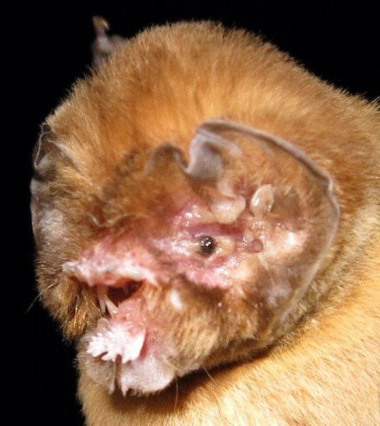 Caribbean bats need 8 million years to recover from recent extinction waves