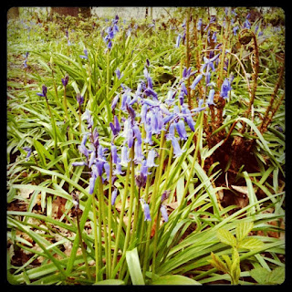 cluster of bluebells
