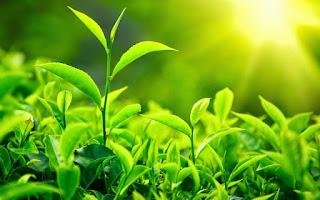 teh-hijau-kandungan-herbal-acaiplus