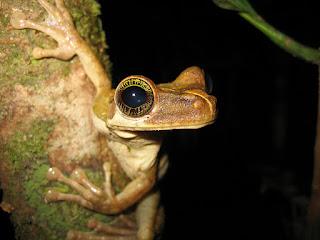 An Amazon tree frog in Brazil. (Credit: Benedict Adam/Flickr) Click to Enlarge.