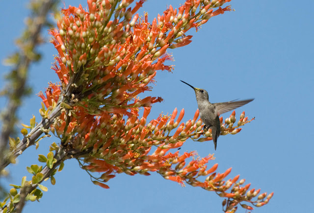 Black-chinned Hummingbird in ocotillo bloom Vallecito County Park.