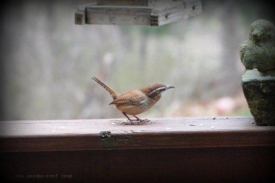 the garden-roof coop: The Carolina Wren