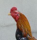 Leher Ayam Aduan