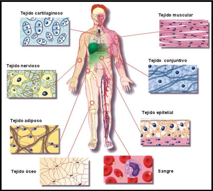 Resultado de imagen para tipos de tejidos