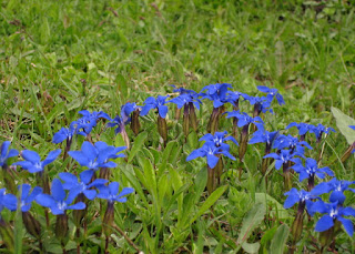 Gentian flowers along the road to the Furkapass, approaching from the east, Switzerland
