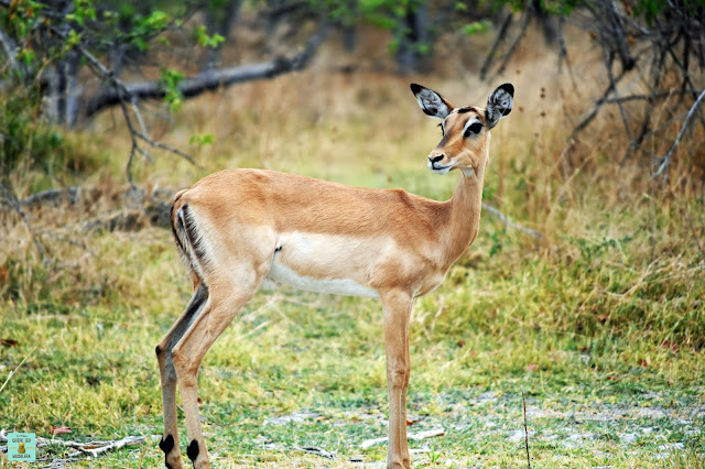 Impala en Moremi, Botswana