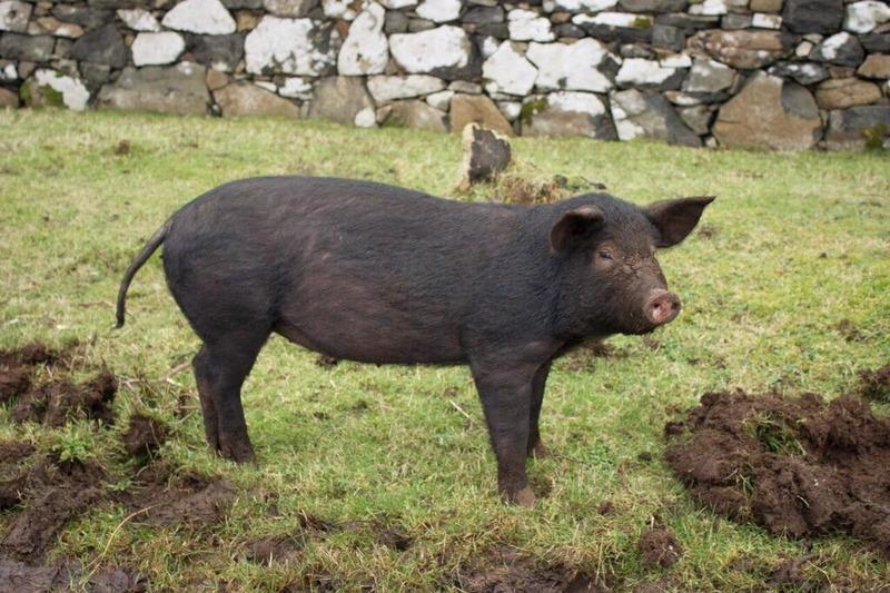 piglet pig scotland isle of mull