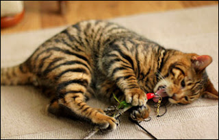 Tiger Cat Toyger Personality