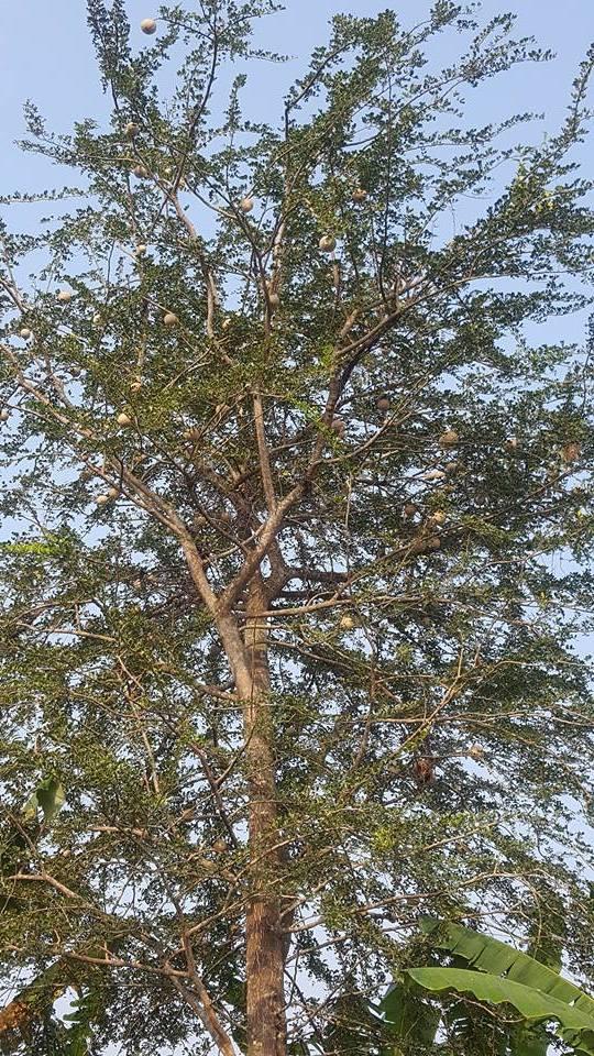 pohon buah kawista